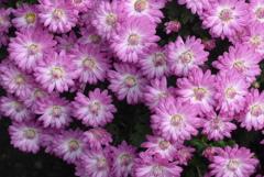 P1250513 三島楽寿園 菊まつり