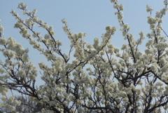 P1260378 白い桜