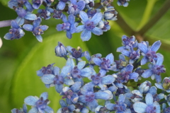 P1012419 紫陽花の花