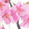 P1000761 雨の河津桜