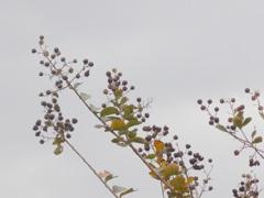 P1120522 秋のサルスベリ