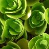 P1240586 緑のバラ