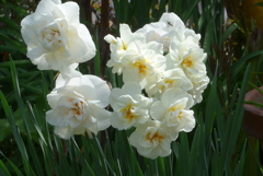 P1260613 八重咲き水仙