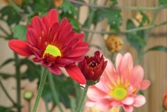 P1250515 三島楽寿園 菊まつり