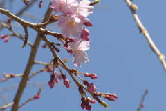 P1260407 しだれ桜