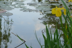 P1220070 水辺に咲く