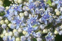 P1230785 ガクアジサイの花