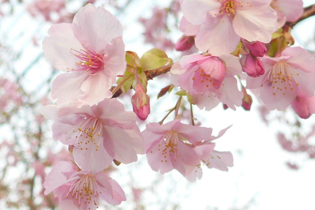 P1200067 河津桜