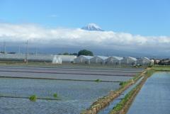 P1160493 6月16日 田圃と富士山
