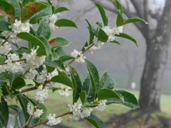 P1180776 霧と白い花