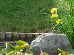 P1150846 キショウブが咲く
