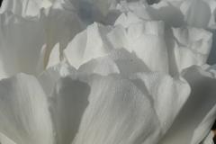 P1011575 牡丹