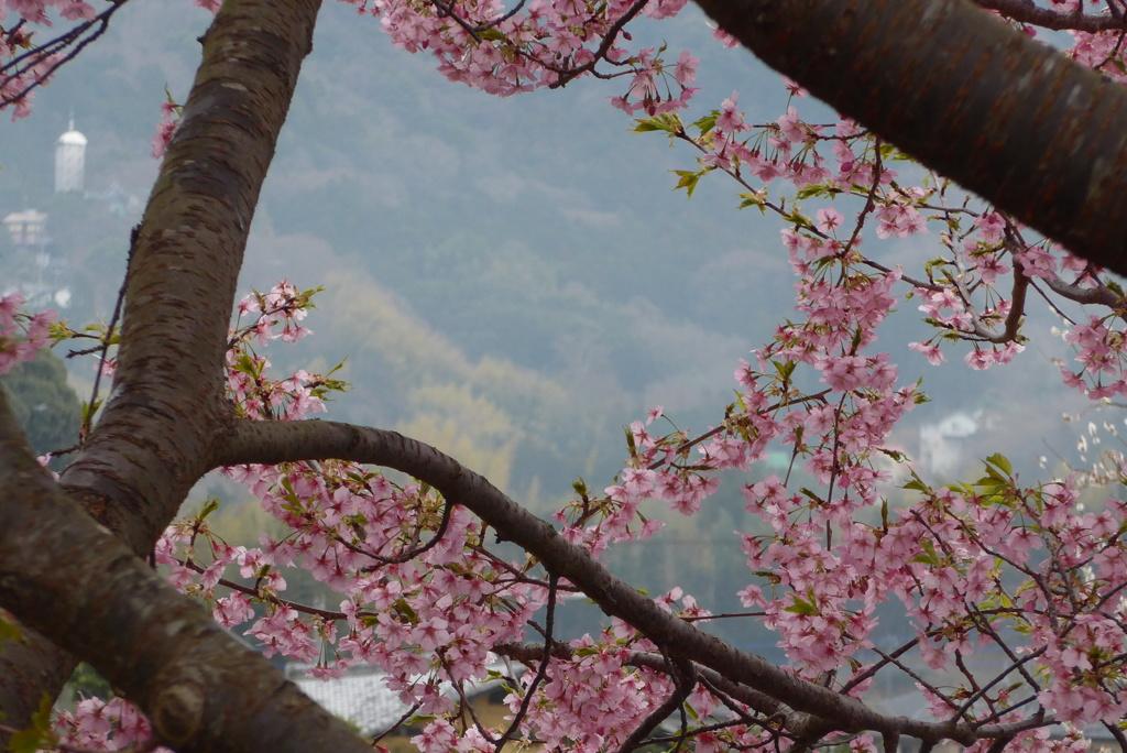 P1130949 河津桜