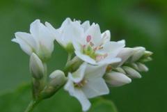 P1240792 ソバの花