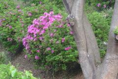P1220069 ツツジの咲く公園