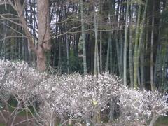 P1130669 竹と白梅