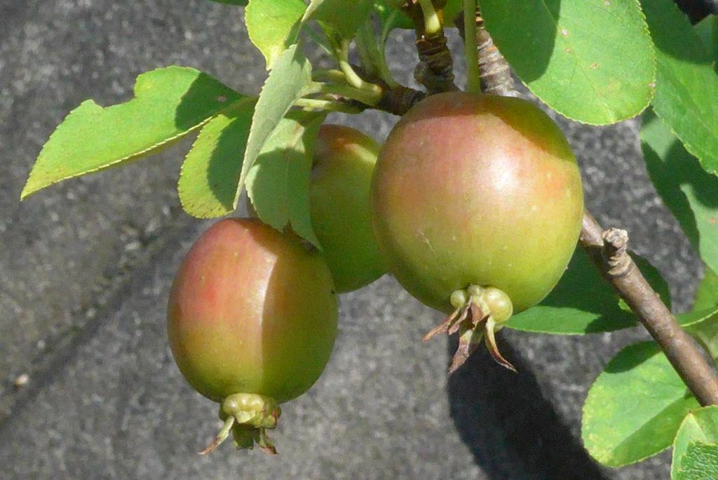 P1240214 ヒメリンゴ