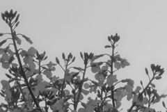 P1260495 (2) 大根の花