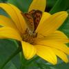 P1230575 ヒメヒマワリと蝶々