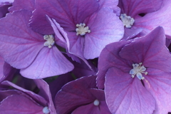 P1012416 紫陽花の花