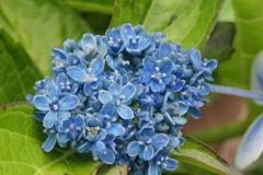 P1012572 青いブーケ