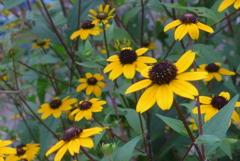 P1170262 夏の花