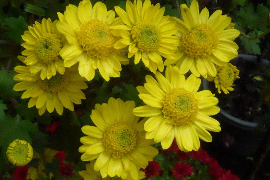 P1250445 三島楽寿園 菊まつり