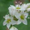 P1230657 ソバの花