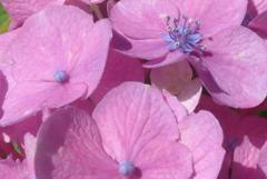 P1230783 あじさいの花