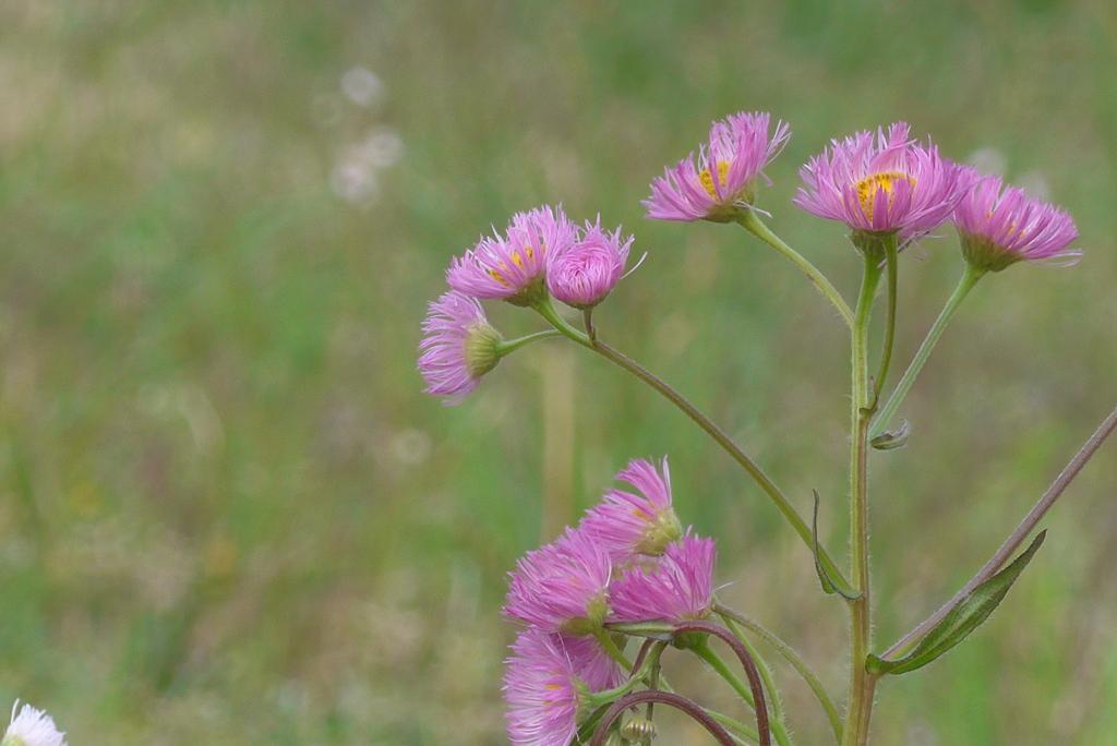 P1210874 野の花