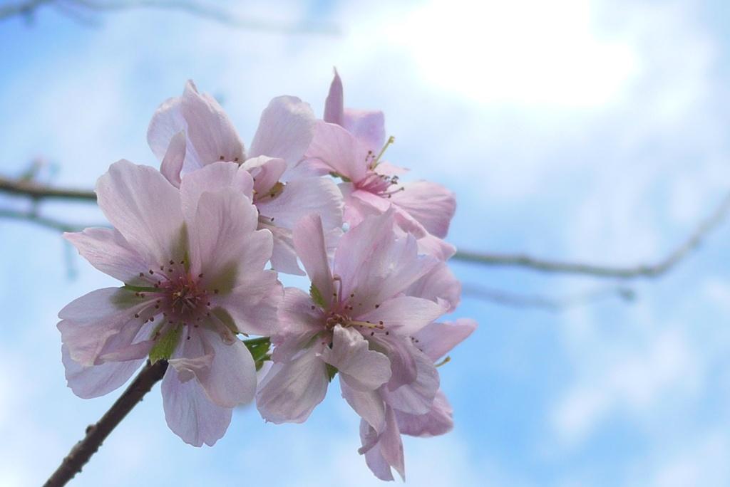 P1250430 十月桜