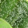 P1012506 クモの糸と水滴