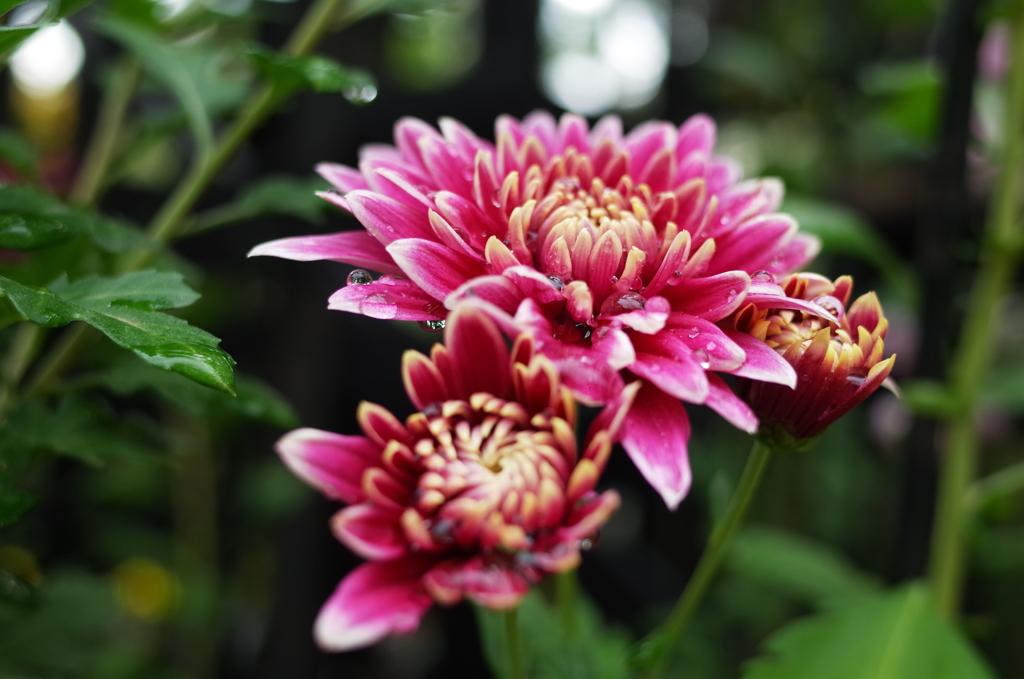 R0352095 三島楽寿園 菊まつり