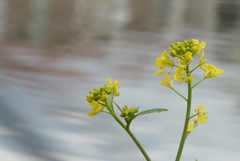 P1200197 水辺の菜の花