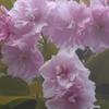 P1210999 八重桜