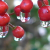 P1130557 赤い実と雫
