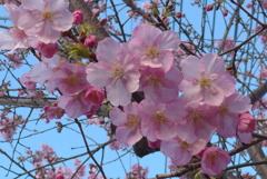P1260011 河津桜