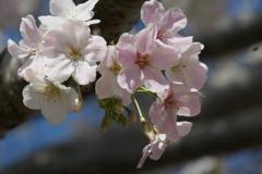 P1001270 大島桜