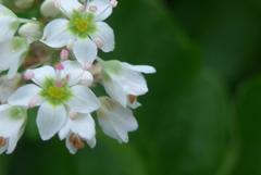 P1160616 蕎麦の花