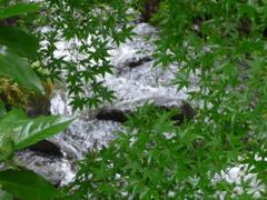 P1150326 若葉と渓流
