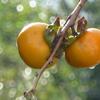 P1180596 柿