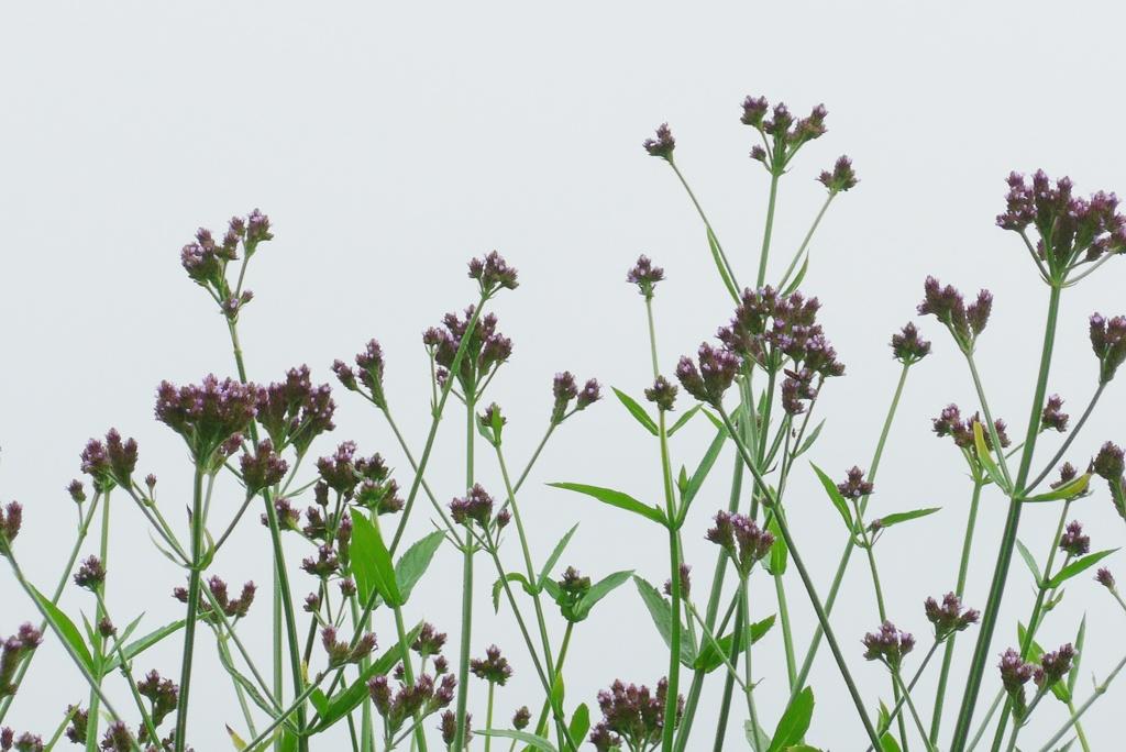 P1240080 野の花