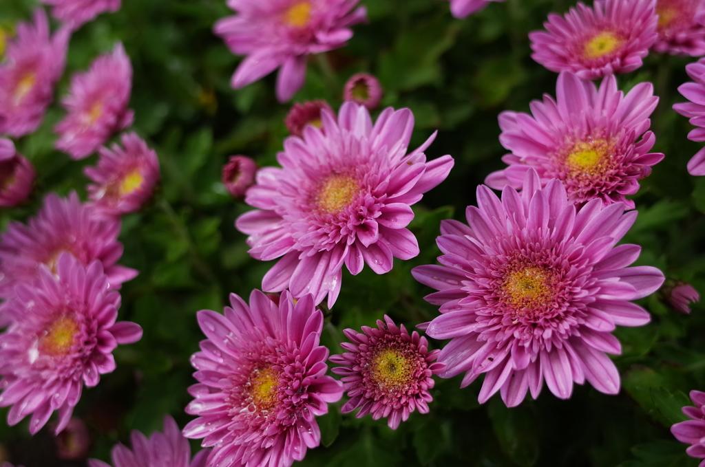R0352093 三島楽寿園 菊まつり