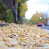 銀杏の葉に埋れて