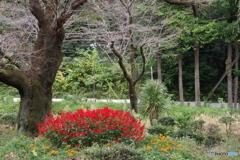 黒鐘公園とサルビア4