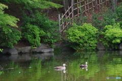 水鏡の中の新緑と鴨