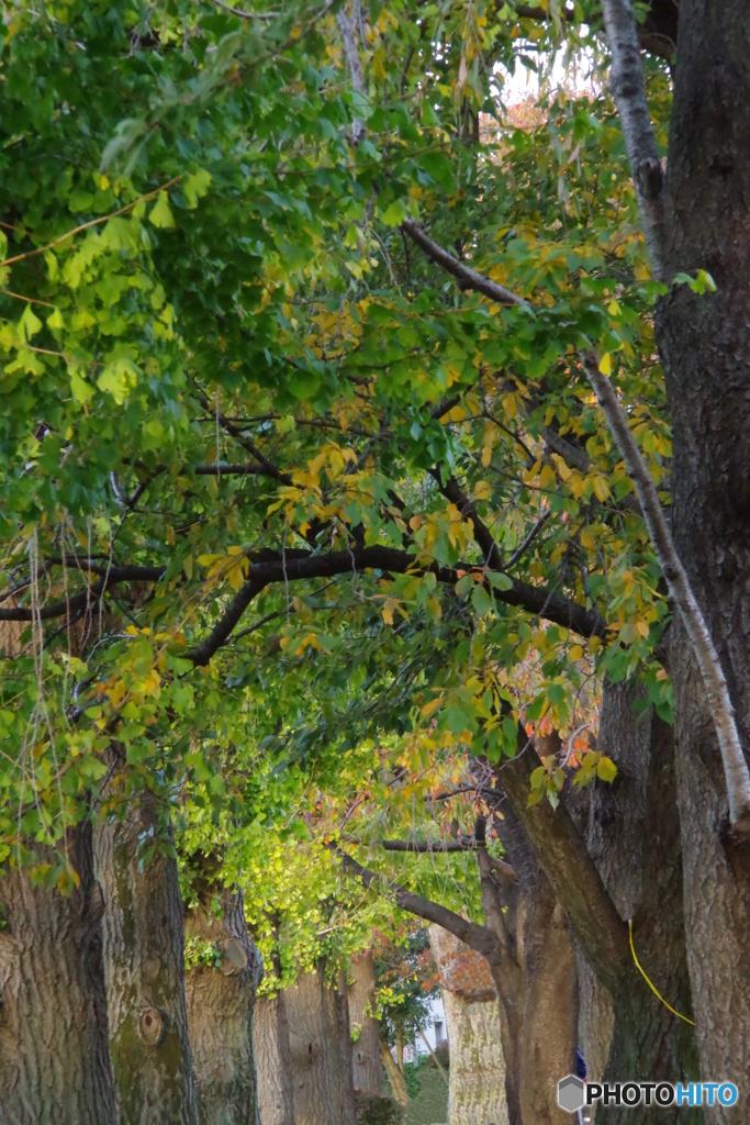 谷保第三公園 銀杏と桜の紅葉トンネル2