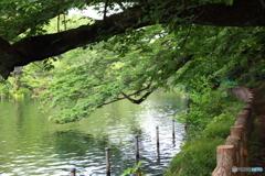 新緑の井の頭池2