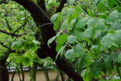 雨あがりの新緑の梅の葉