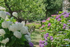 郷土森の紫陽花たち